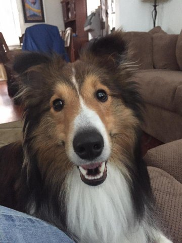 Western Pa Sheltie Rescue Available Shelties
